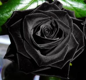 the-black-rose1